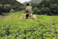 cannabis-cultivation-morocco