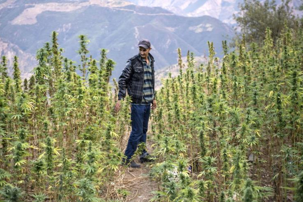 morocco cannabis grower2