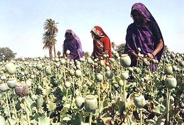 opium-cultivation-bhopal